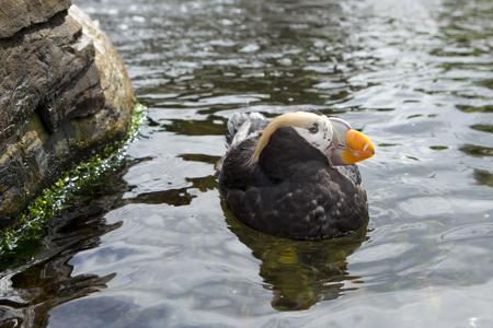 Puffin near a rock at the Newport, Oregon aquarium.