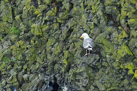 near side: Herring gull on cliff side near Newport, Oregon.