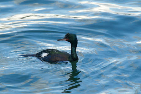 Pelagic Cormorant in Newport, Oregon. photo