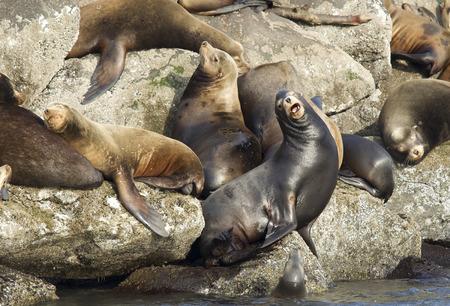 defiant: Defiant sea lion in Newport Oregon. Stock Photo