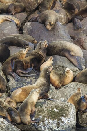 clustered: Sea lions clustered together in Yaquina Bay in Newport Oregon.