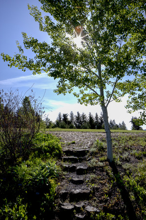 quaking aspen: Steps by tree in Moscow Idaho.