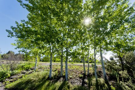 quaking aspen: Sunlight dappled through trees in Moscow Idaho. Stock Photo