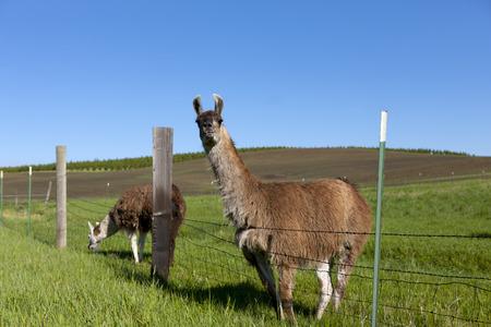 idaho: Llama looks at camera near Potlach Idaho. Stock Photo