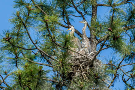 Herons together in a nest in Idaho.