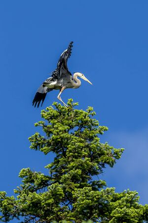 flaps: Heron on tree flaps wings against a blue sky.
