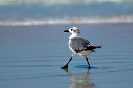 Laughing gull taking a step.