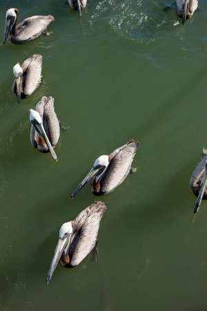 pelicans: Pelicans grouped together. Stock Photo