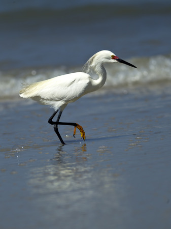 Snowy egret raises leg out of water in Central Florida. Banco de Imagens