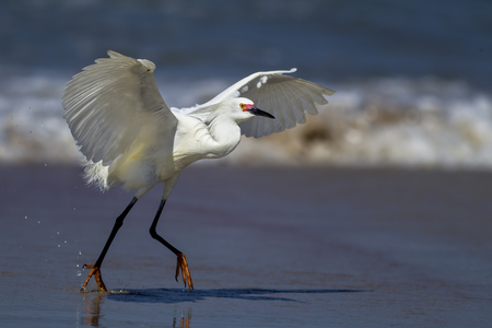 flaps: Egret flaps its wings while running in Florida. Stock Photo
