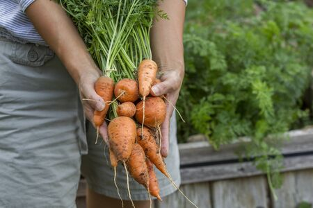 freshly picked: Displaying freshly picked carrots.