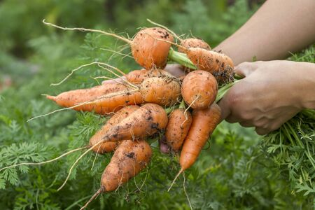 freshly picked: Freshly picked carrots.