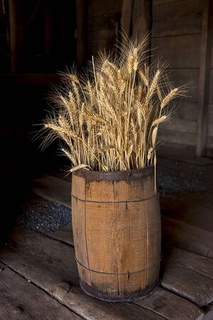 stalk: Several wheat stalks are stacked in a wooden barrel.