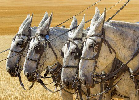 davenport: Four white horses in Davenport, Washington. Stock Photo