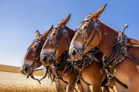 davenport: Three majestic horses near Davenport, Washington. Stock Photo