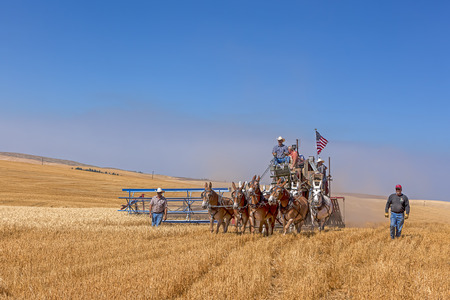 davenport: An editorial image of an old fashioned harvest using horses at the Davenport, Washington Vintage Harvest.