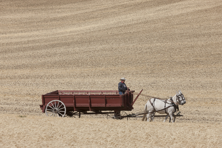 colfax: Driving the horse drawn wheat wagon in the field on the palouse region near Colfax, Washington.