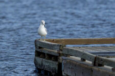 Perched on edge of dock at Hauser Lake, Idaho. Banco de Imagens