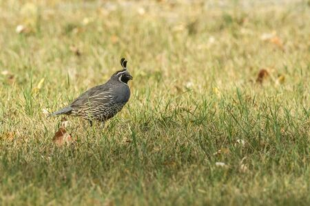 gamebird: California quail in the grass in Hauser, Idaho. Stock Photo
