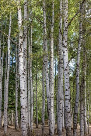 aspen leaf: Tall aspen trees in north Idaho. Stock Photo