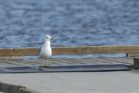 AGull walks on dock at Hauser Lake, Idaho.
