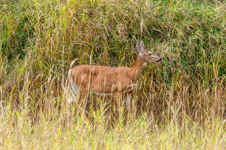 near side: Side view of deer in grass near Cataldo, Idaho.