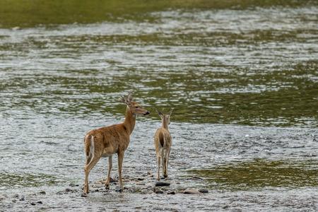 doe: Mother deer and doe in water near Cataldo, Idaho. Stock Photo