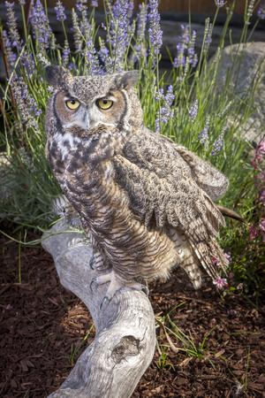 Horned owl portrait.