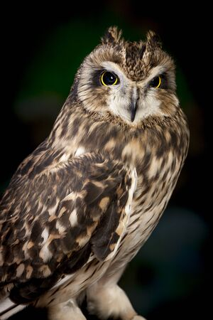 nocturnal: Majestic short eared owl.