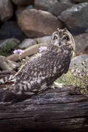 captive: Captive short eared owl. Stock Photo