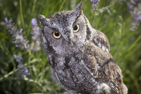 talons: Close up of screech owl.