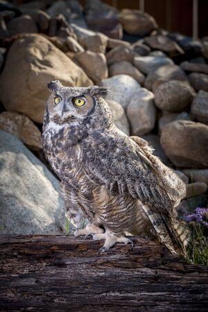 horned: Captive great horned owl.