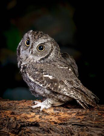 talons: Side view of screech owl.