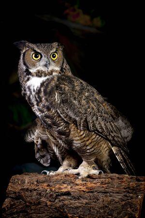 horned: Studio shot of horned owl.