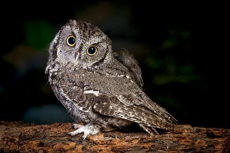 nocturnal: Adorable screech owl.
