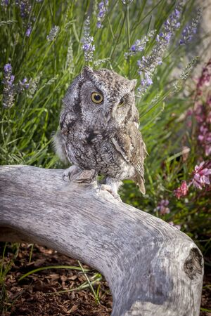 talons: Cute screech owl on log.
