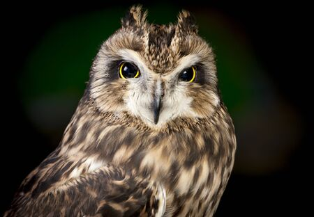 cute animals: Close up of short eared owl.