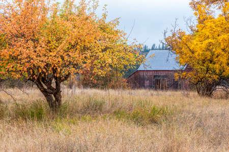 barnyard: Yellow trees in barnyard along highway 20 east of Colville, Washington.