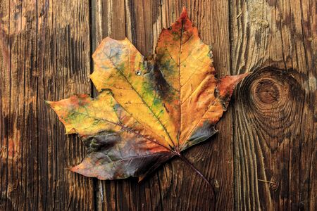 yellowing: Yellowing maple leaf. Stock Photo