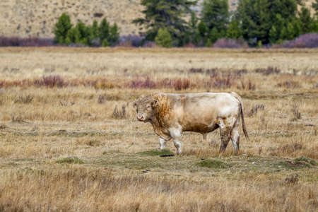 stanley: A large bull out in the field near Stanley, Idaho. Stock Photo