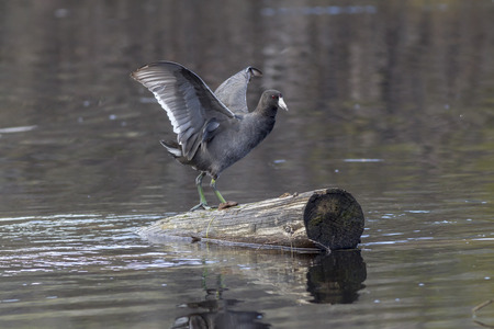 flaps: Coot flaps wings while on log by Stanley Lake in Idaho.