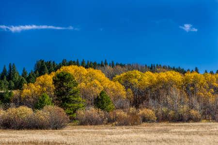 leaved: Yellow leaved autumn trees near McCall, Idaho.