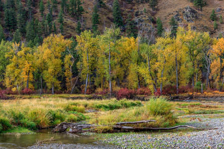 yellow trees: Row of yellow trees in southwestern Montana.