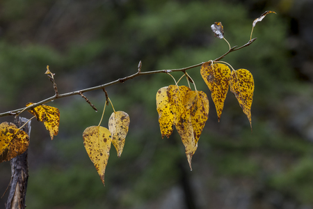smal: Brown spotted yellow autumn leaves hanging from a smal branch.