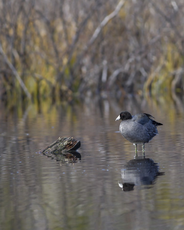 stanley: Coot perched on submerged log by Stanley Lake in Idaho.