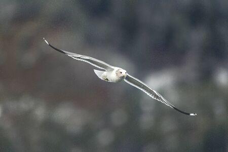gliding: Seagull gliding in air.