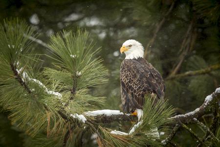 Bald eagle in snowy tree near Coeur d'Alene, Idaho. Stok Fotoğraf