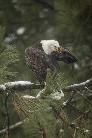 beak: Eagle has feather in its beak near Coeur dAlene, Idaho has a feather in its beak.