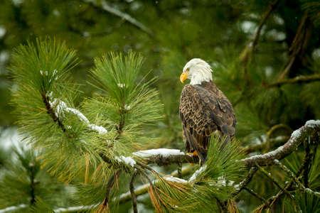 Majestuosa águila en árbol cerca de Coeur d'Alene, Idaho. Foto de archivo - 50790244