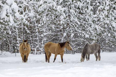 idaho: Three horses in winter in north Idaho.